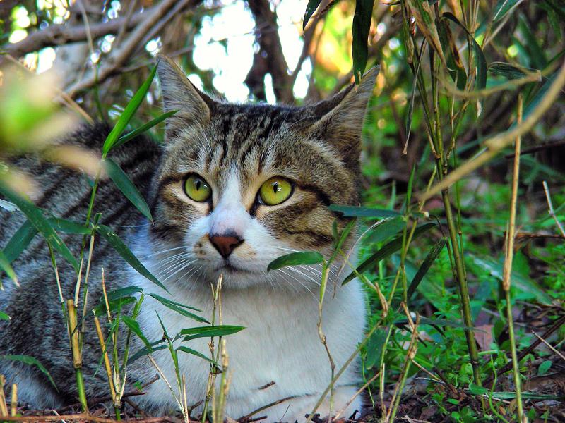 公園茂みのキジ白猫3