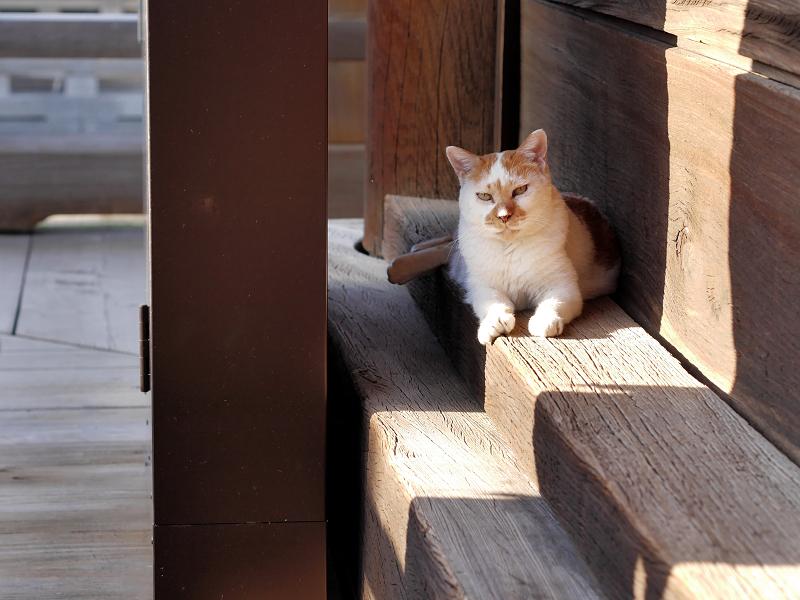 本堂濡れ縁の茶白猫1