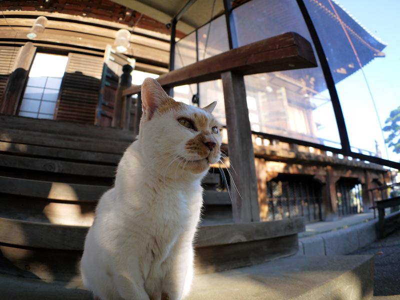 本堂濡れ縁の茶白猫3