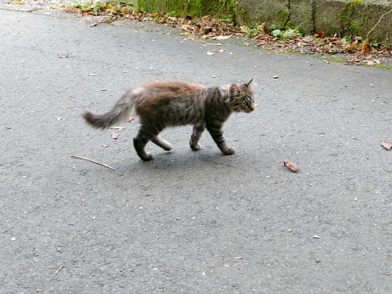 道を動き回る毛長キジ猫1