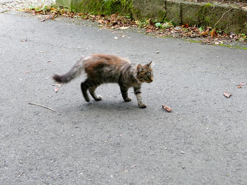 道を動き回る毛長キジ猫2