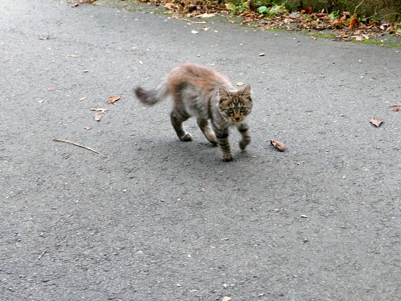 道を動き回る毛長キジ猫3