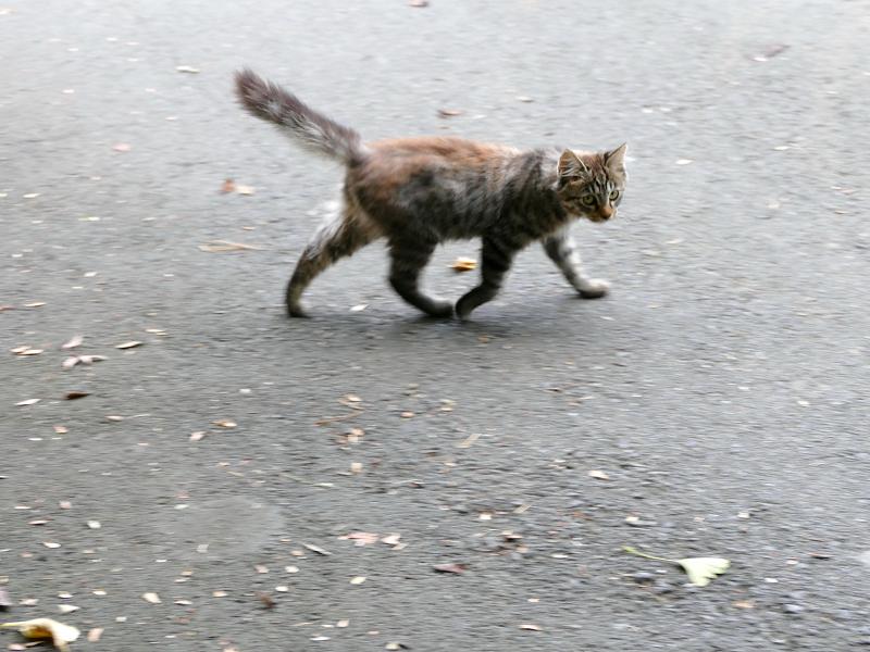 道を動き回る毛長キジ猫4