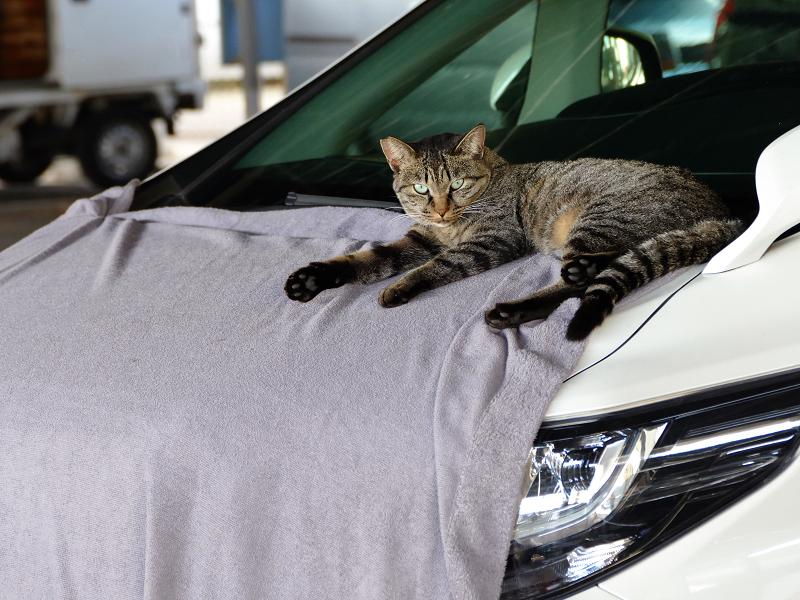 ボンネットシートのキジトラ猫1