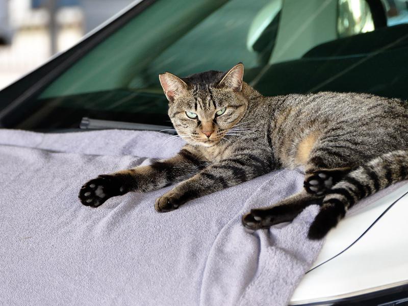 ボンネットシートのキジトラ猫2
