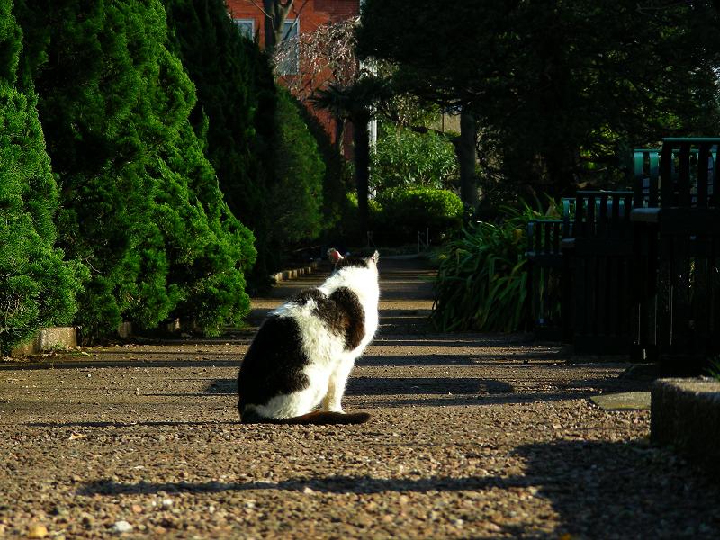 公園通路の黒白猫2