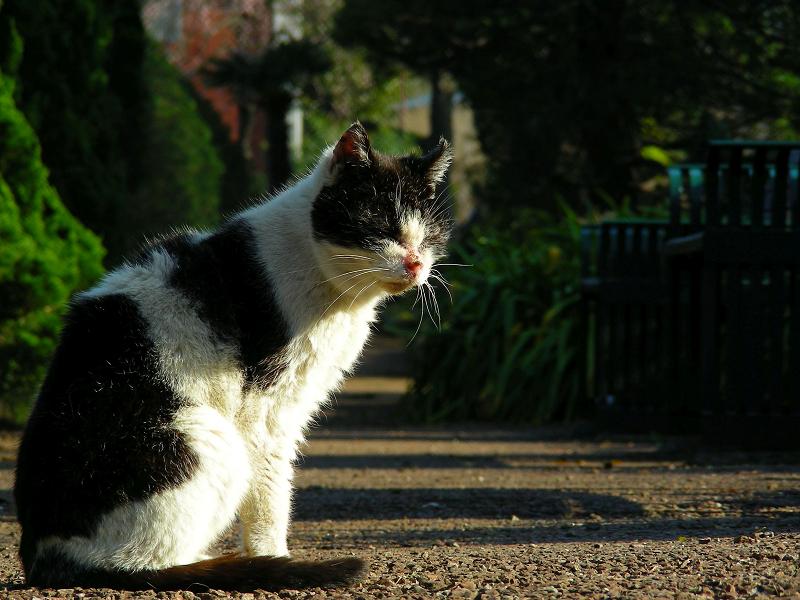 公園通路の黒白猫4