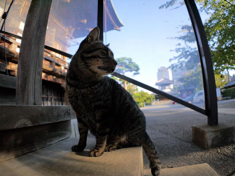 本堂階段のキジトラ猫1