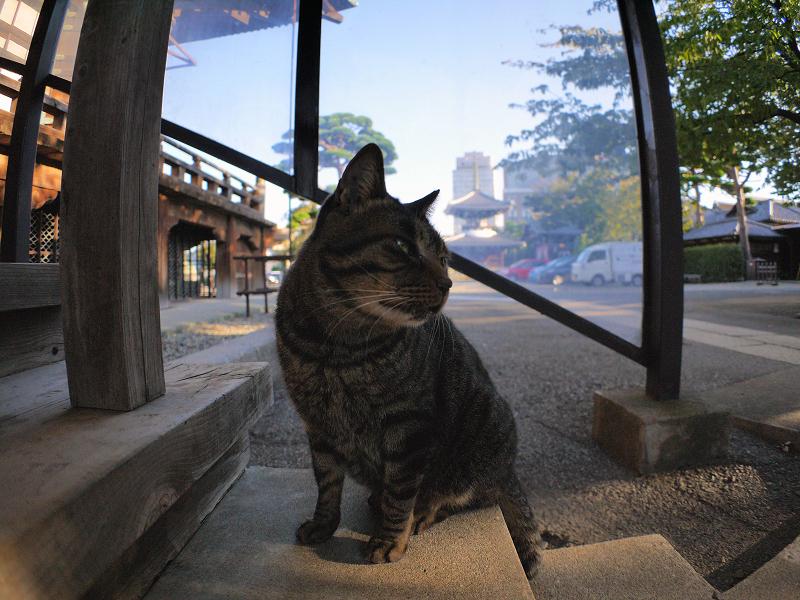 本堂階段のキジトラ猫2