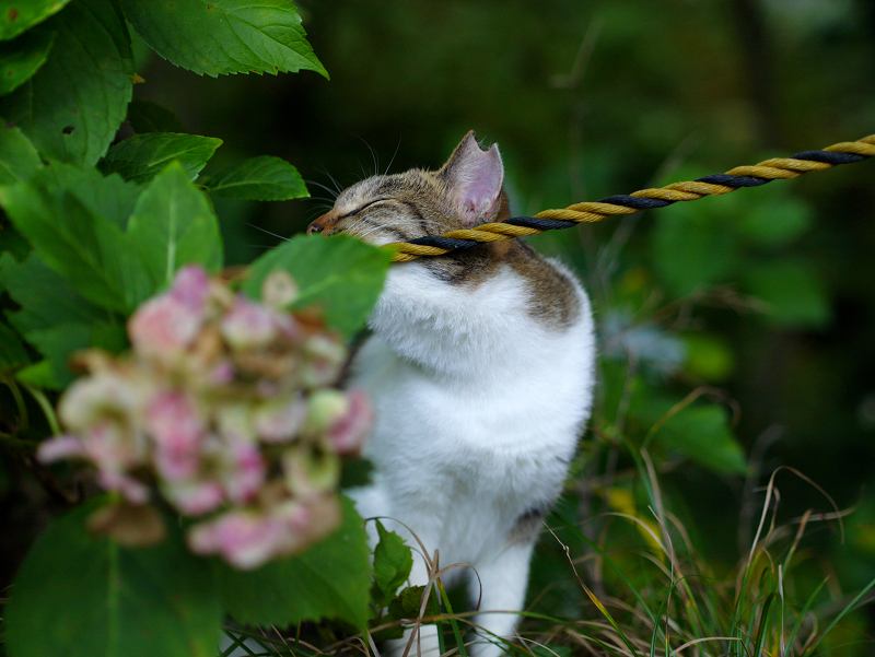 茂みとロープのキジ白猫2