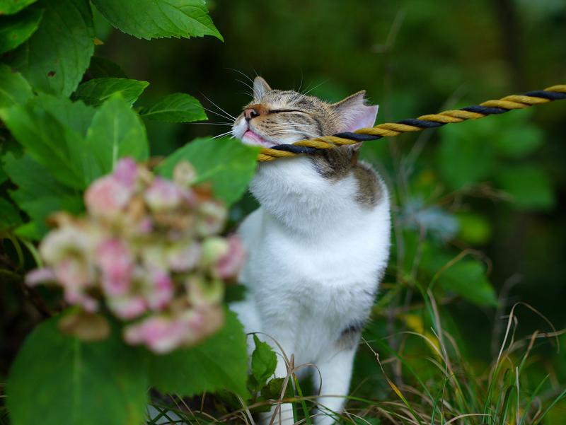 茂みとロープのキジ白猫3