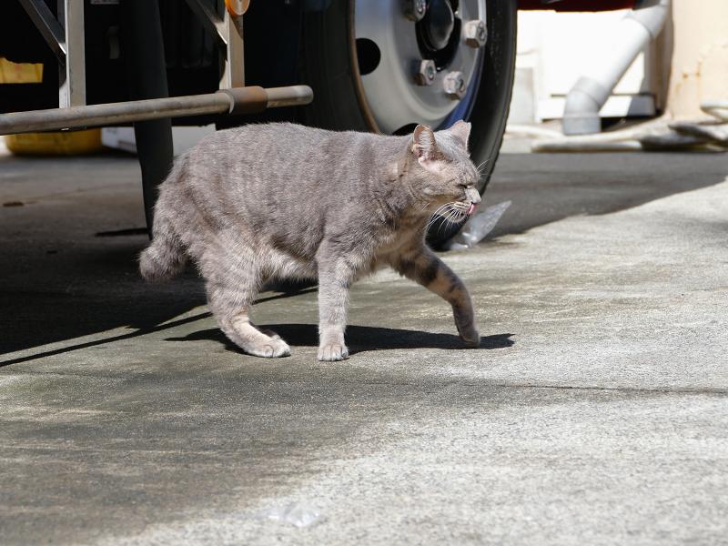 駐車場のグレー猫3