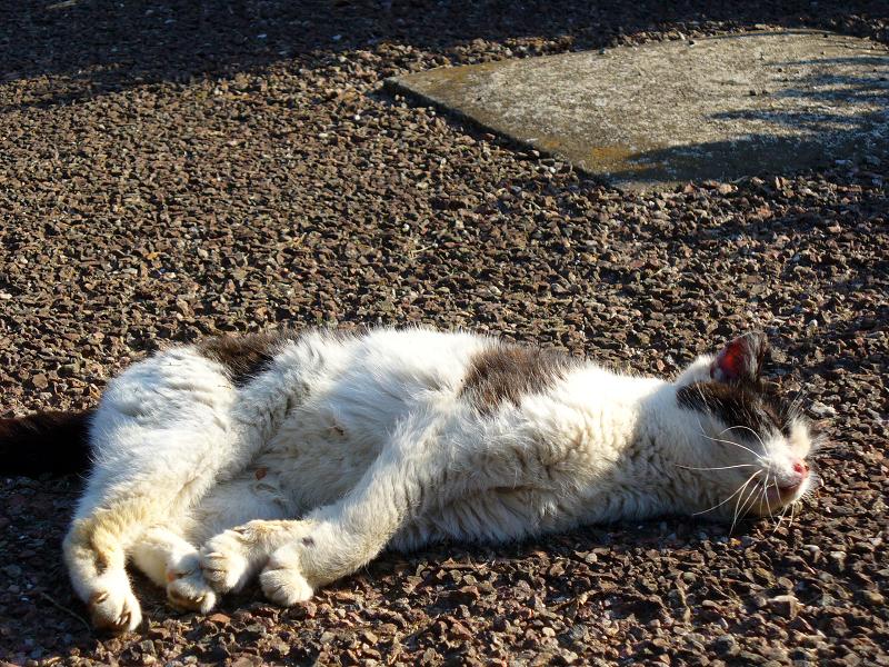 公園で寝そべる黒白猫1