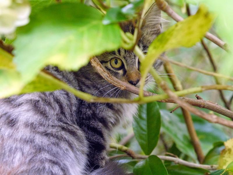 空き地の茂みと毛長のキジトラ猫1