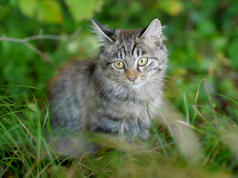 空き地の茂みと毛長のキジトラ猫2