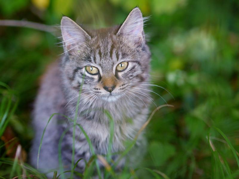 空き地の茂みと毛長のキジトラ猫3