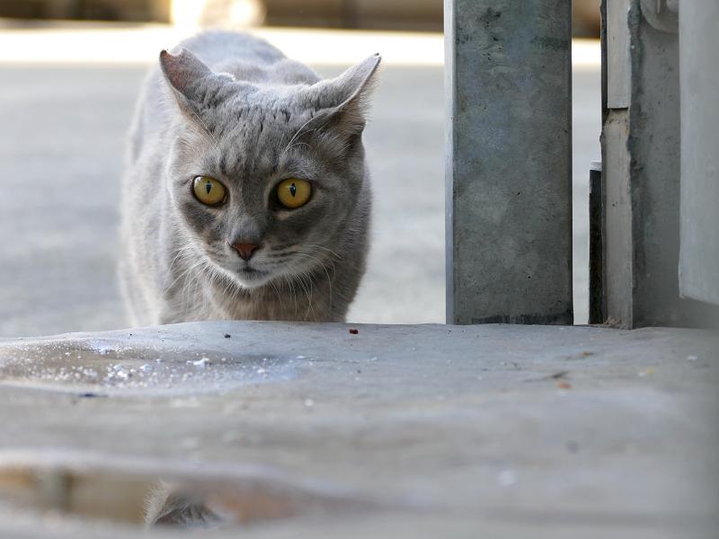 好奇心爆発のグレー猫1
