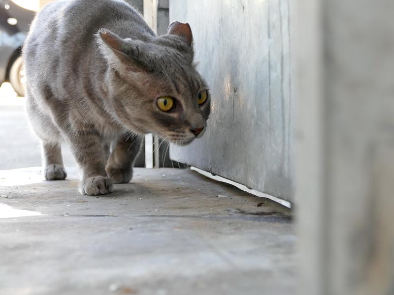 好奇心爆発のグレー猫3
