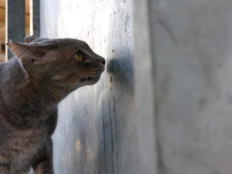 壁の臭いを嗅いでるグレー猫
