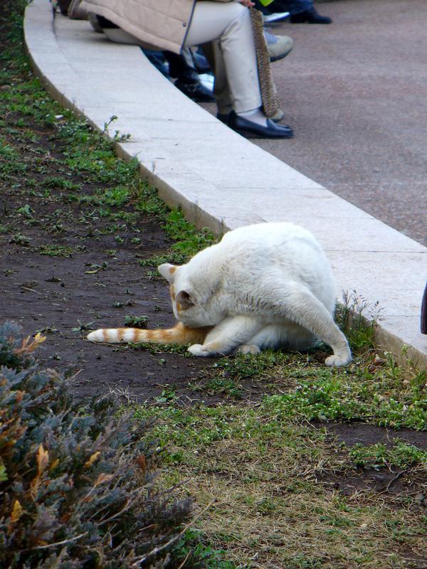 公園の白茶猫1