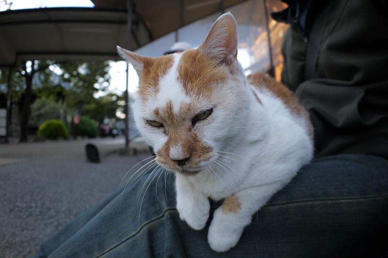 膝に乗った茶白猫1