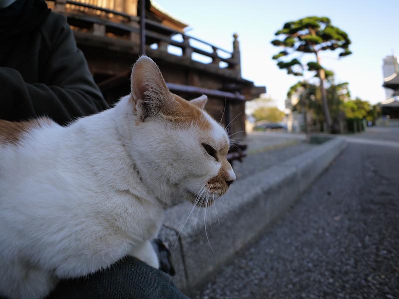 膝に乗った茶白猫2