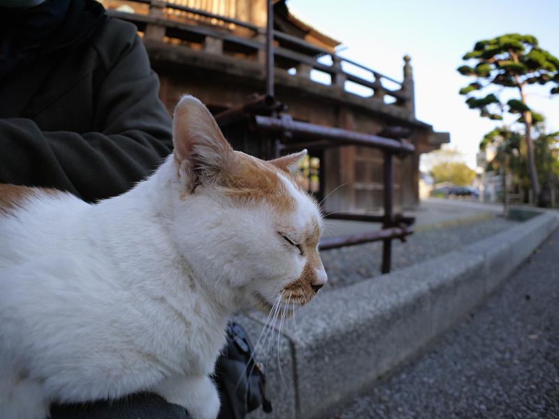 膝に乗った茶白猫3