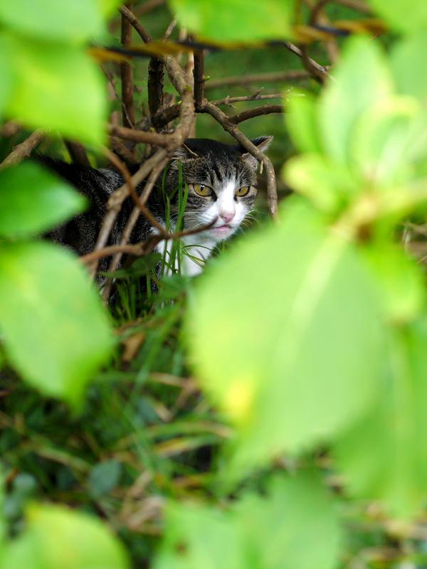 空き地の茂みの中のキジ白猫1