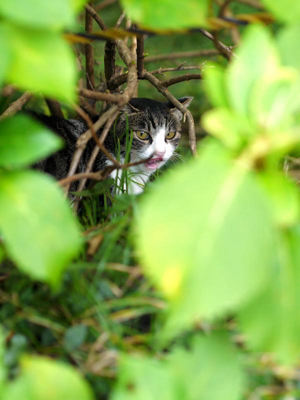 空き地の茂みの中のキジ白猫2