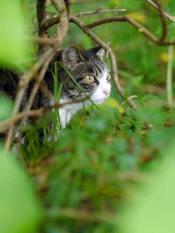 空き地の茂みの中のキジ白猫3