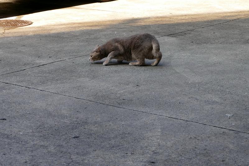 駐車場で転がるグレー猫1