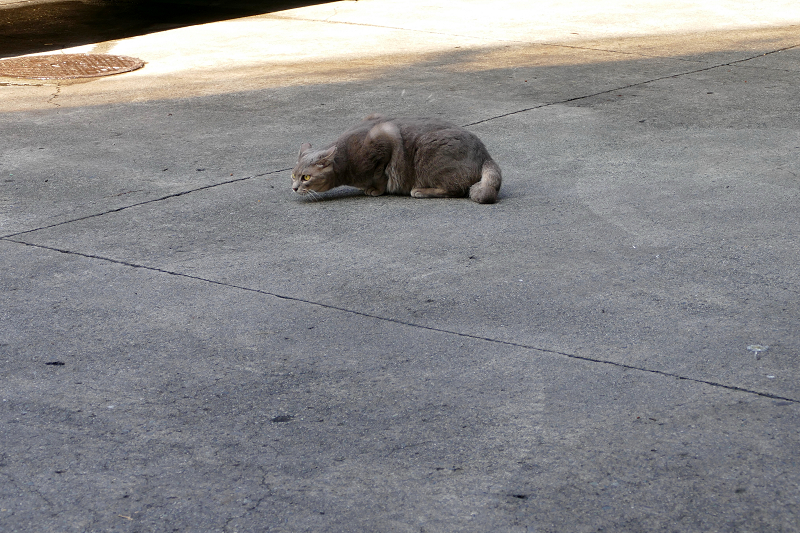 駐車場で転がるグレー猫2