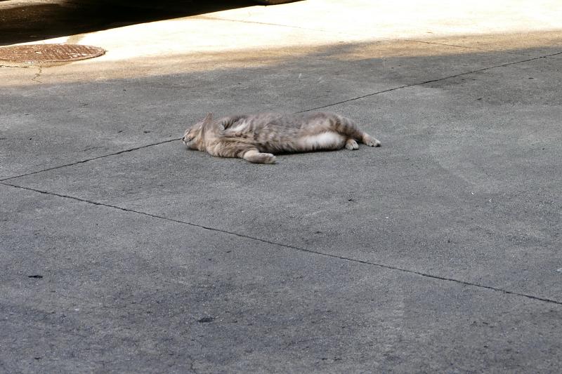 駐車場で転がるグレー猫3