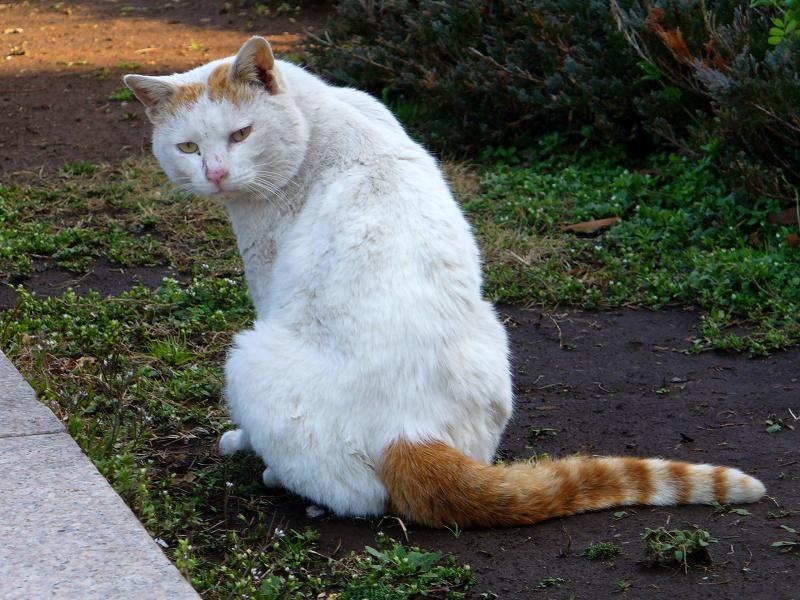 尻尾が縞々の白茶猫1
