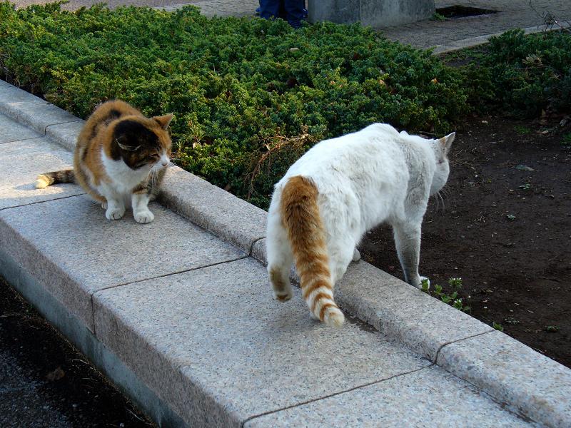 尻尾が縞々の白茶猫2