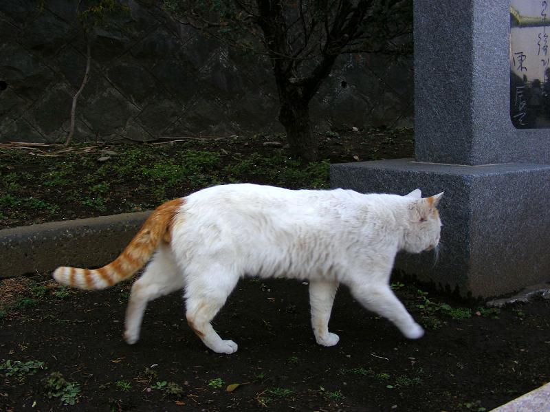 尻尾が縞々の白茶猫3