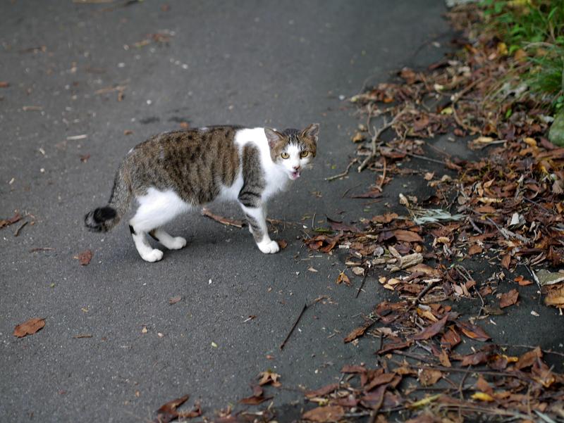 空き地路地のキジ白猫1
