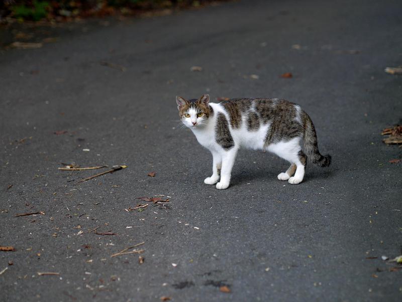 空き地路地のキジ白猫2