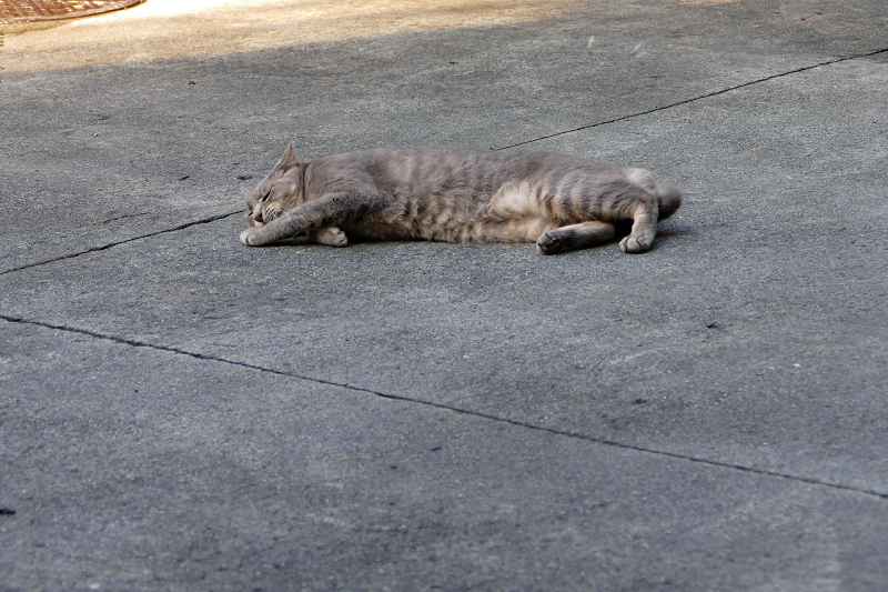 駐車場で転がってるグレー猫1