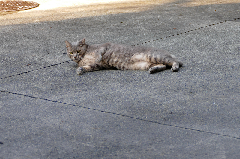 駐車場で転がってるグレー猫2