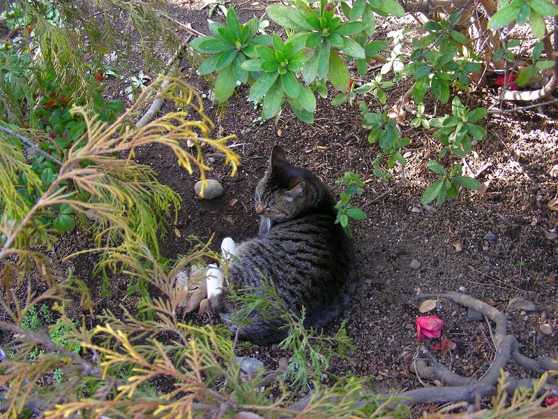 公園茂みのキジトラ猫1