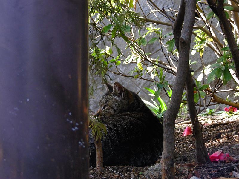 公園茂みのキジトラ猫2