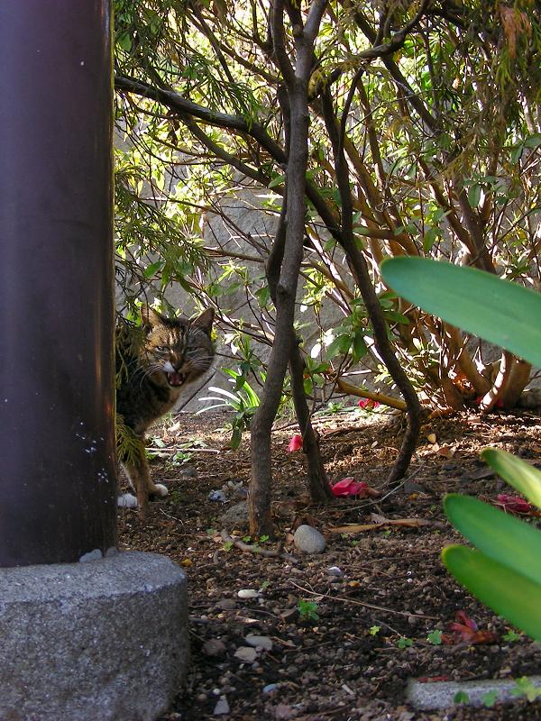 公園茂みのキジトラ猫3