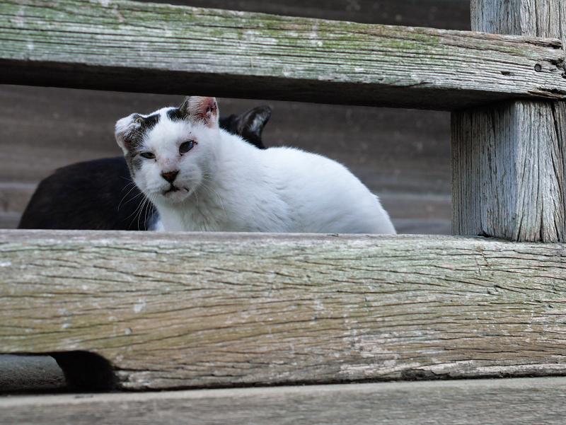 濡れ縁欄干の白キジ猫
