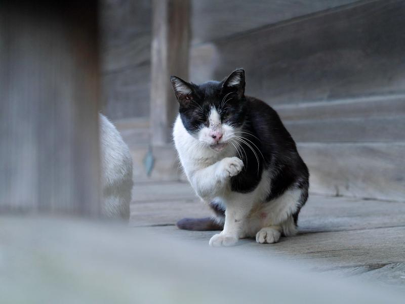 濡れ縁欄干の黒白猫