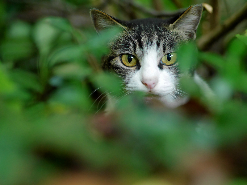 空き地茂みのキジ白猫1