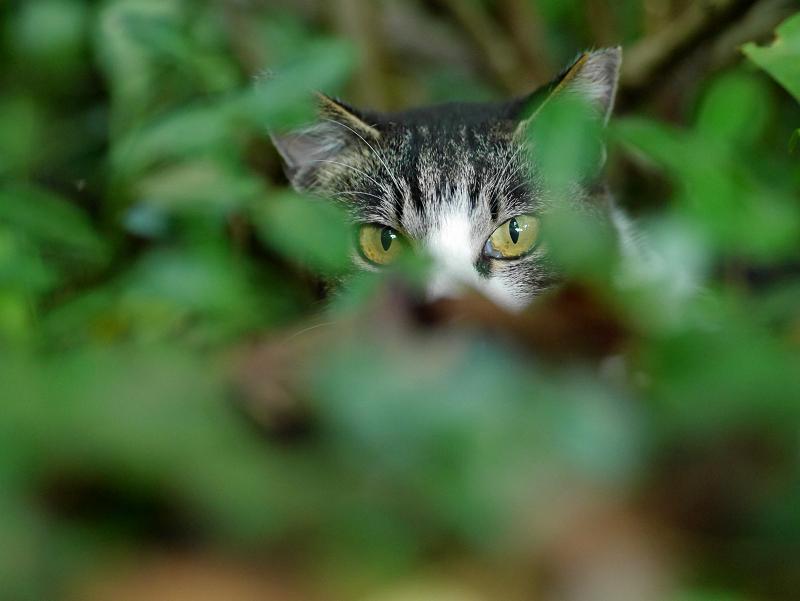 空き地茂みのキジ白猫2