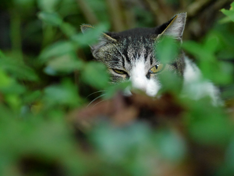 空き地茂みのキジ白猫3