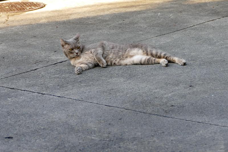 駐車場で転がったグレー猫2