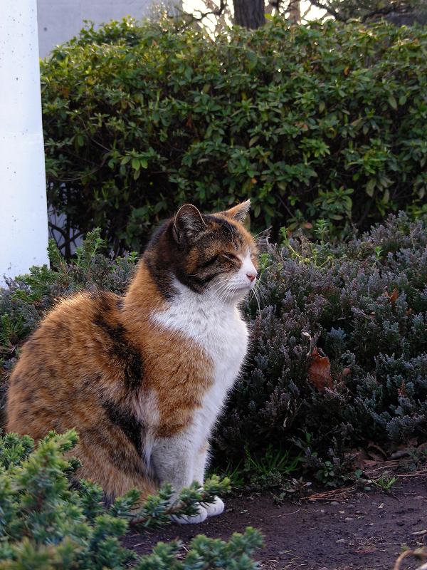 公園の三毛猫1